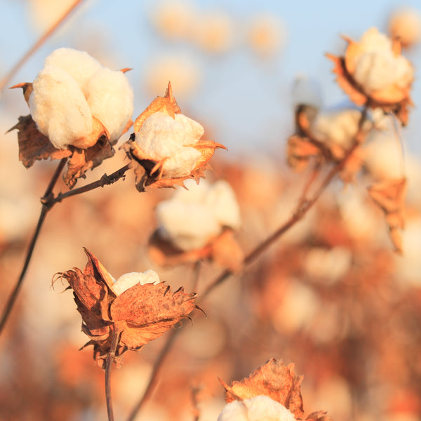 supima pima cotton field plant
