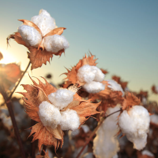 supima pima cotton field