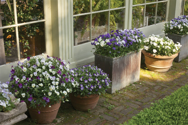 Bunny Williams garden with planters of purple and white flowers