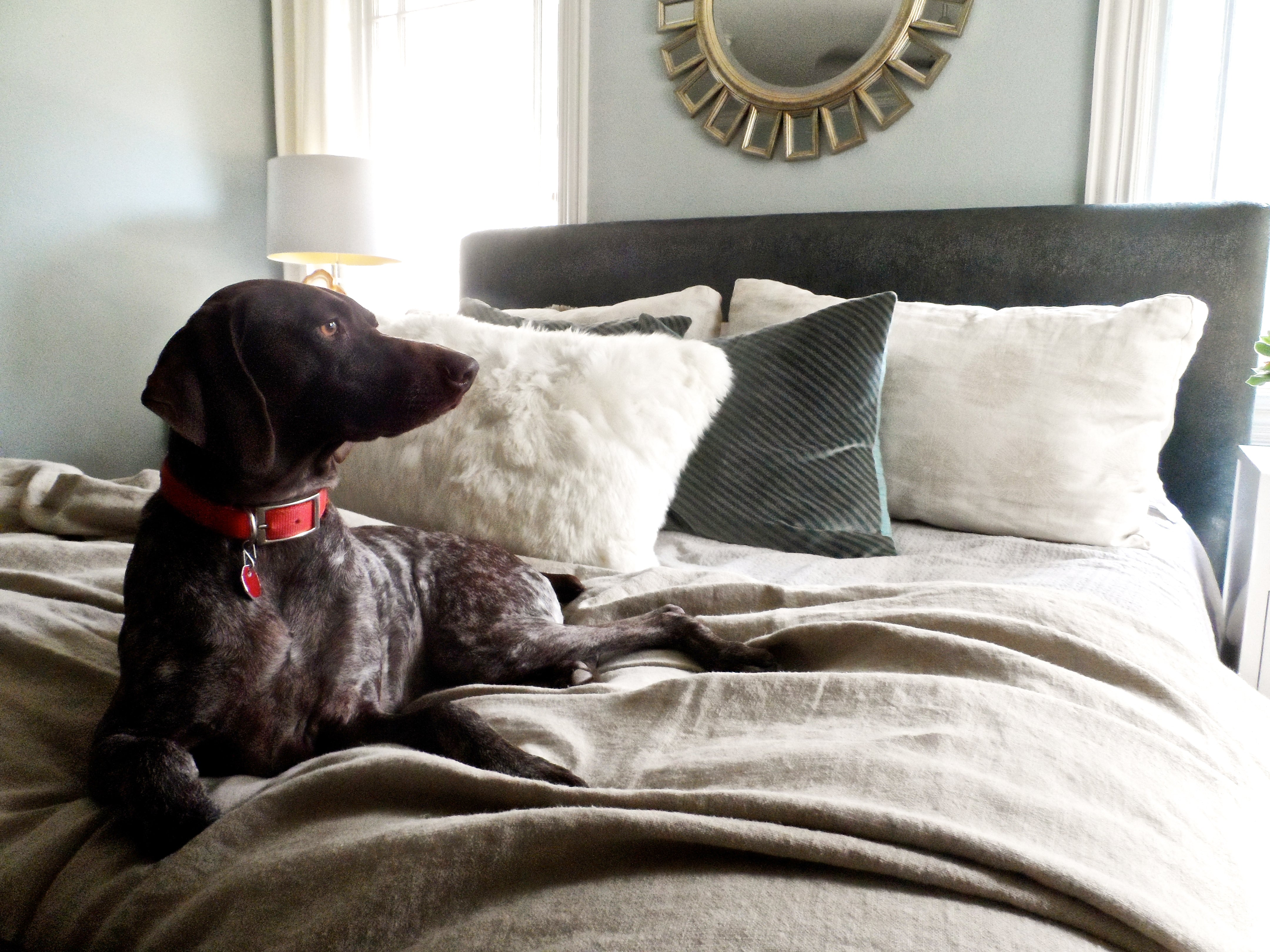 A pointer with a red collar lies on the bed