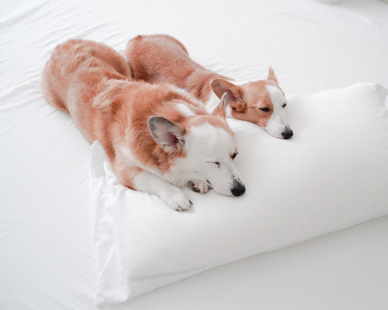 two corgi dogs sleeping on white Peacock Alley sheets