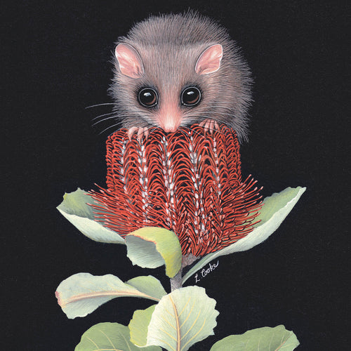 LC30G Australian Pygmy Possum On Banksia Flower