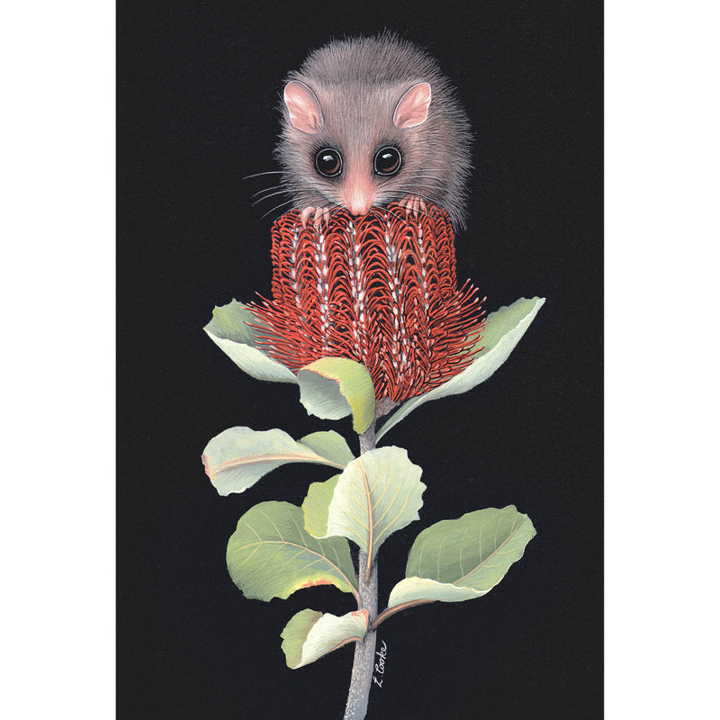 LC30 Australian Pygmy Possum On Banksia Flower
