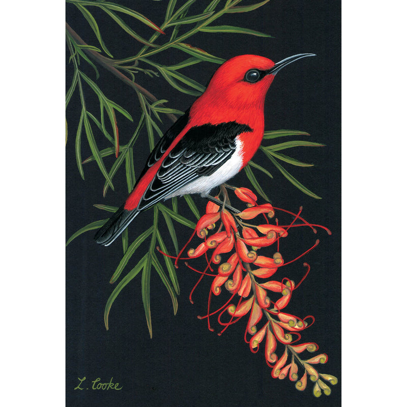 LC62 Australian Scarlet Honeyeater On Grevillea Flowers