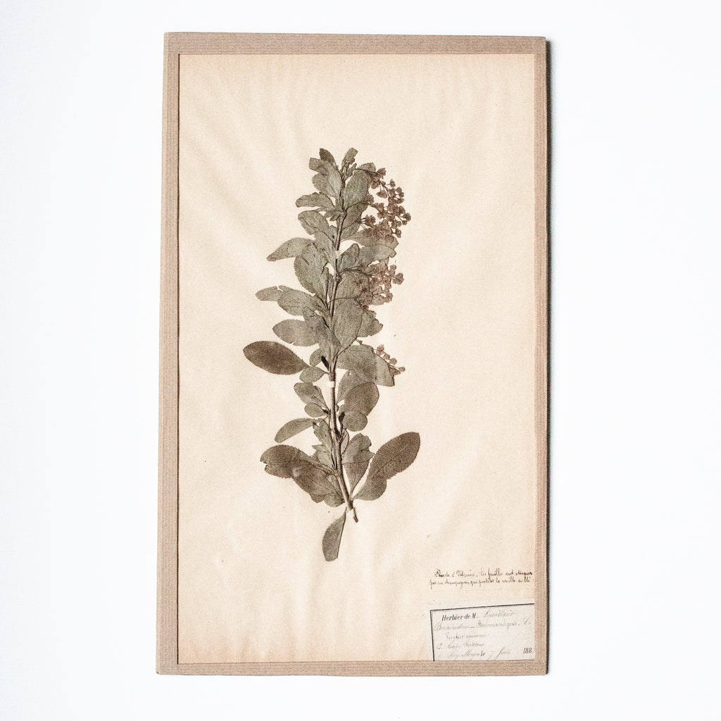 French 19th Century Herbier: Berberis Vulgaris