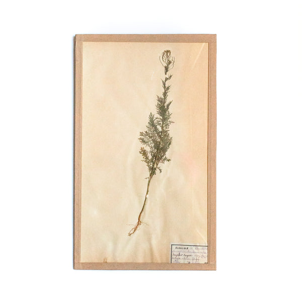 French 19th Century Herbier: Sisymbre Sagesse