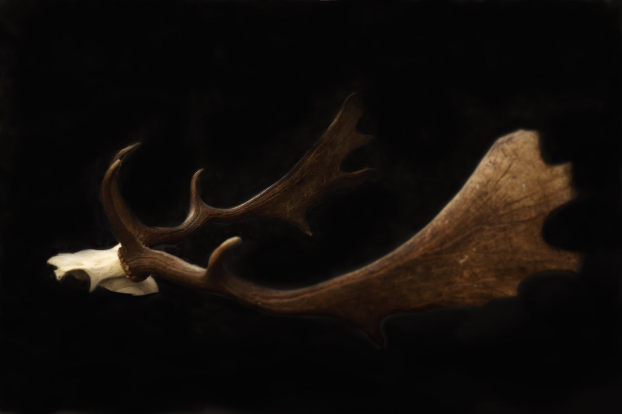 Fallow Deer Skull With Antlers