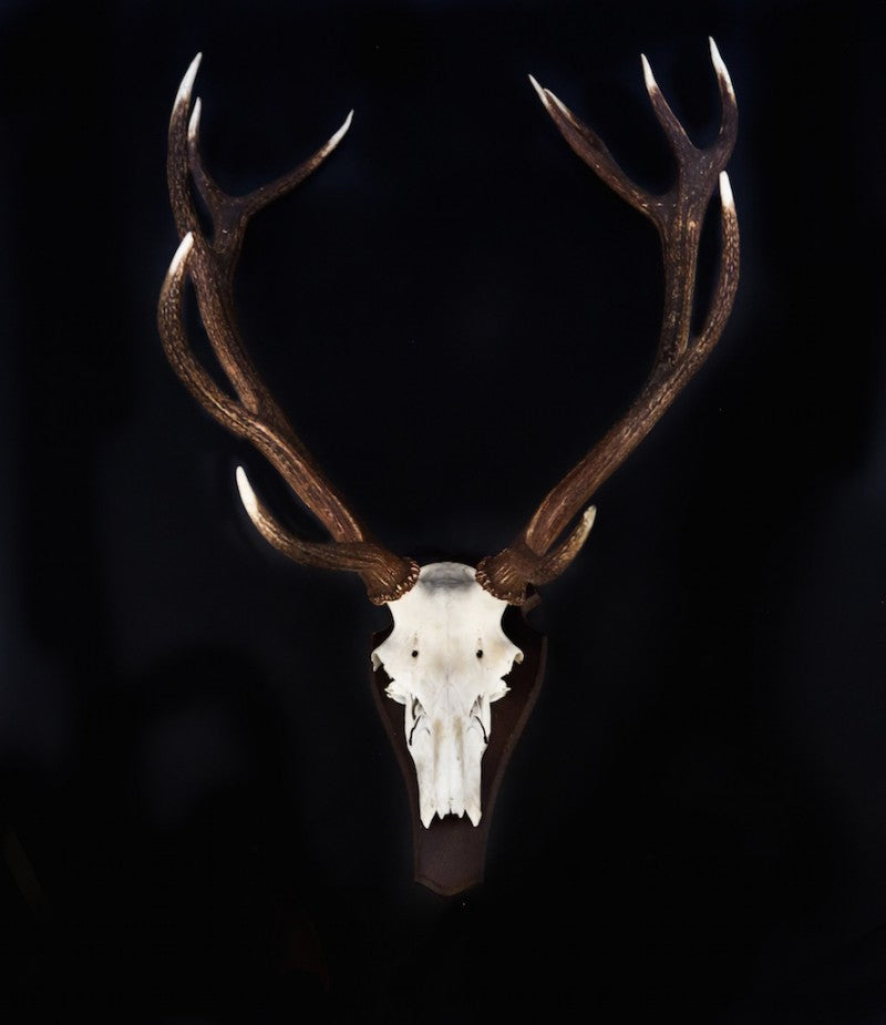 Mounted Red Deer Antlers