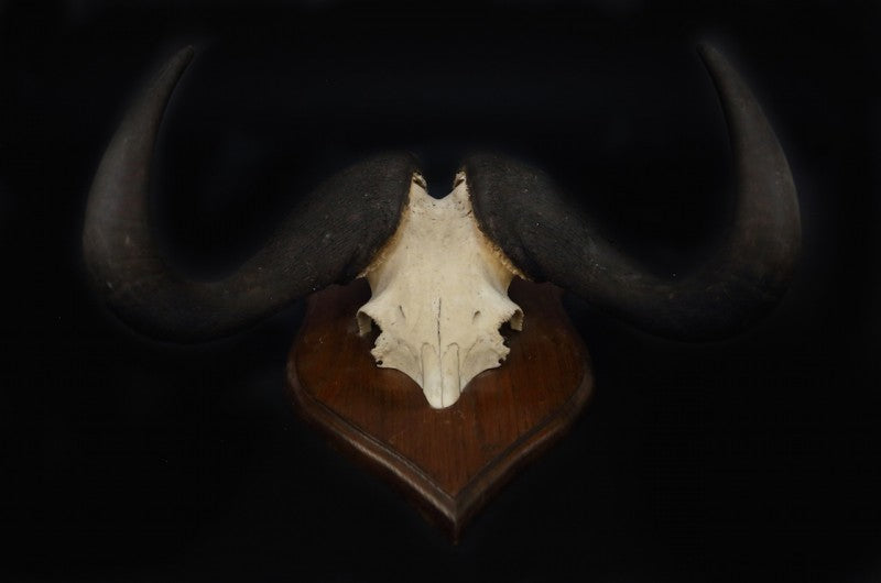 Mounted Wildebeest Horns