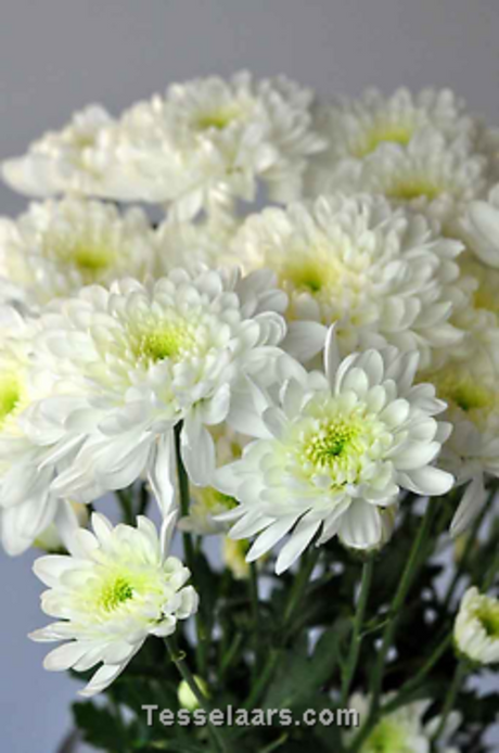 Mothers Day - CHRYSANTHEMUMS $9.00 Pick-up special