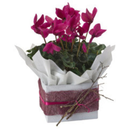Katrina - FLOWERING PLANT - (mini-boxed)