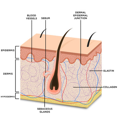 Understanding Epidermal Health And Its Effect On The Skin