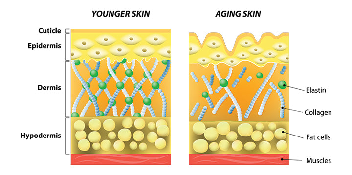 Decrease in collagen and elastin in aged skin