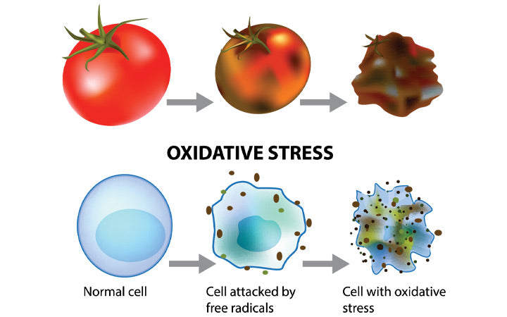 Oxidative-stress-and-cellular-aging