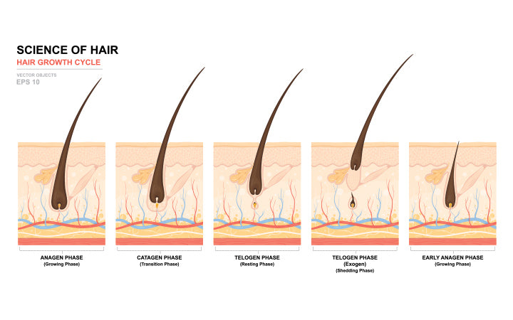 Stages of the hair growth cycle