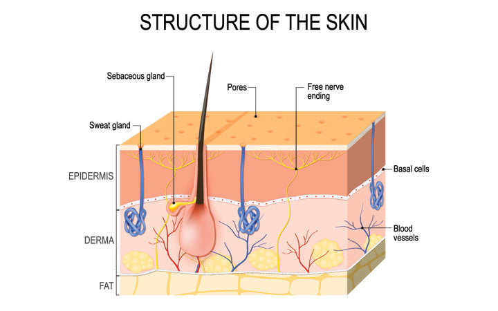 structure-of-he-skin