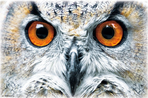 The Owl's Scowl (Facial Close-Up) Super-Cool Animal Kingdom Poster - Trends International