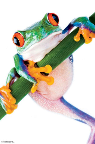 Red-Eyed Tree Frog Super-Cool Animal Kingdom Poster - Trends International