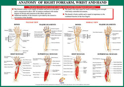 Anatomy of Forearm, Wrist and Hand Health and Fitness Wall Chart Poster - Chartex Ltd.