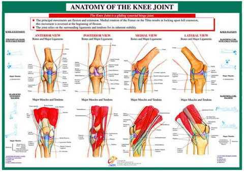 Anatomy of Knee Joint Health and Fitness Wall Chart Poster - Chartex Ltd.