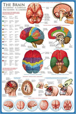 Anatomy of The Human Brain Wall Chart Poster - Eurographics