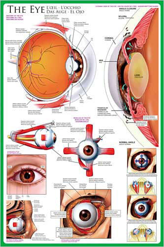 Anatomy of The Human Eye Wall Chart Poster - Eurographics Inc.