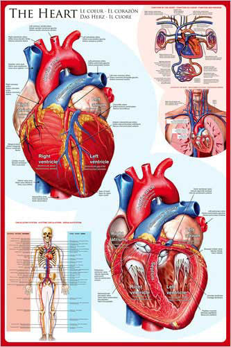 Anatomy of The Human Heart Wall Chart Poster - Eurographics