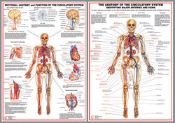 Anatomy of the Circulatory System 2-Poster Combo - Chartex