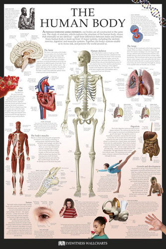 The Human Body Educational Poster - DK Eyewitness Wallcharts/Pyramid