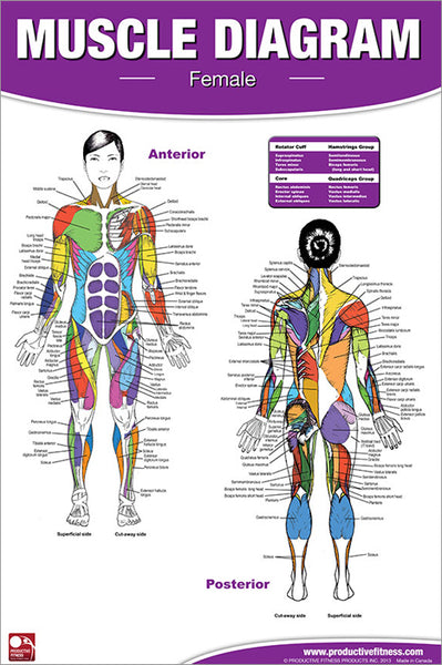 Human Muscle Diagram (Female) Fitness Anatomy Wall Chart Poster - Productive Fitness Inc.