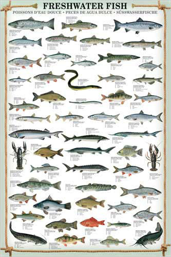 Freshwater Fish Wall Chart (53 Species) Poster - Eurographics