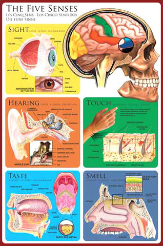Anatomy of The Human Five Senses Wall Chart Poster - Eurographics