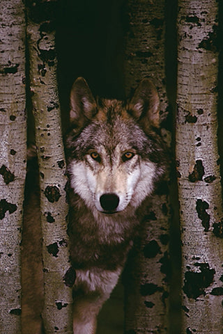 Gray Wolf in the Woods Between Birch Trees Animal Beauty Poster - Eurographics