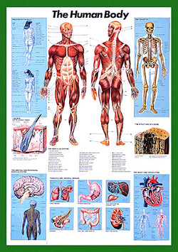 The Human Body Anatomy Wall Chart Poster - Nuova Arti Grafiche