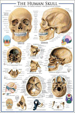 Anatomy of The Human Skull Wall Chart Poster - Eurographics