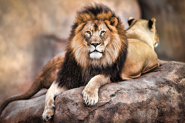 Proud Male Lion, King of the Savannah Animal Beauty Poster - Pyramid International