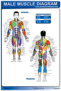 Male Muscle Diagram Wall Chart Poster - Productive Fitness Inc.