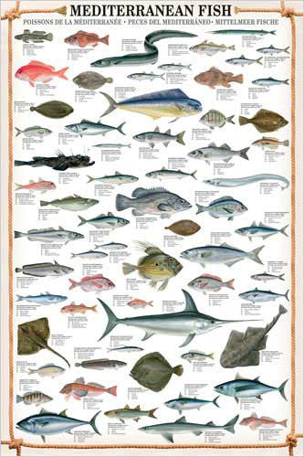 Mediterranean Fish Wall Chart Poster (61 Saltwater Species) Poster - Eurographics