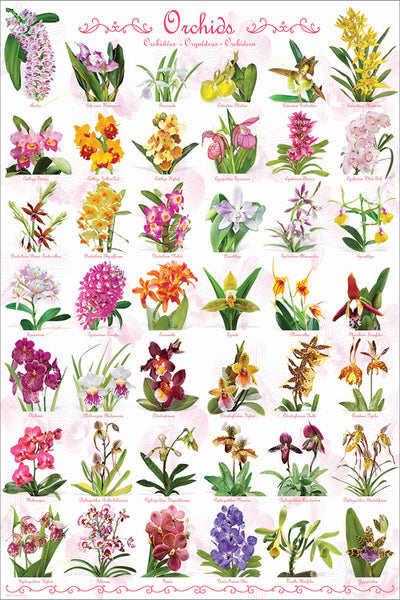 Orchids Poster (42 Beautiful Flower Varieties) - Eurographics Inc.