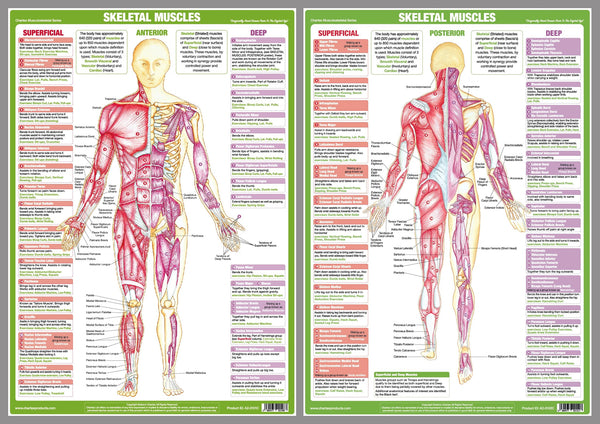 Major Skeletal Muscles Anatomy Wall Chart Poster Set (2 Posters) - Chartex Ltd.