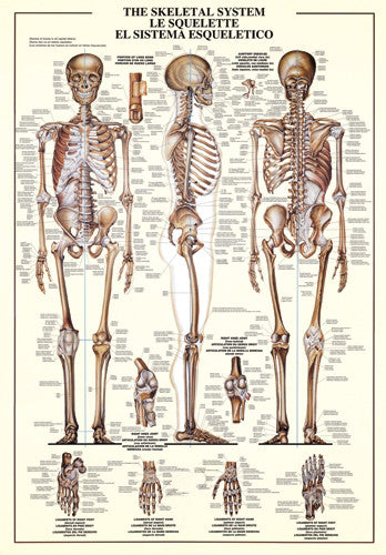 The Skeletal System Human Anatomy Wall Chart Poster - Nuova