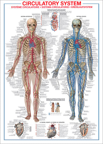The Circulatory System Human Anatomy Wall Chart Reference Poster - Ricordi Arte/Eurographics