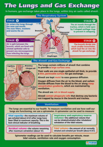 The Lungs and Gas Exchange Human Respiration Physiology Biology Wall Chart Poster - Daydream Education