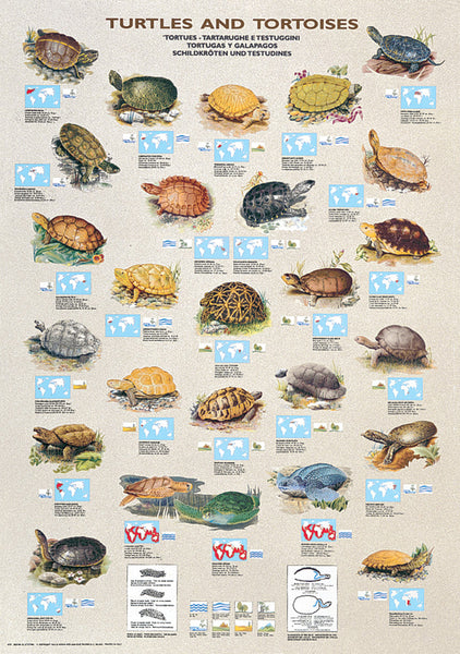 Turtles and Tortoises Animal Zoology Wall Chart Poster - Ricordi Arte Group