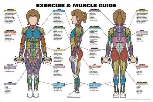 Women's Exercise and Muscle Guide Professional Fitness Wall Chart Poster - Fitnus
