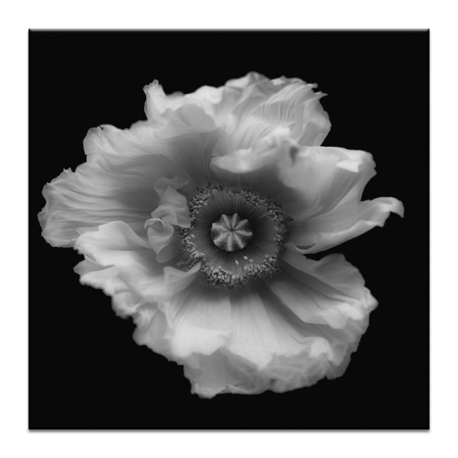 Poppy in Mono Photograph Artwork Home Decor Wall Art at Lifeix Design