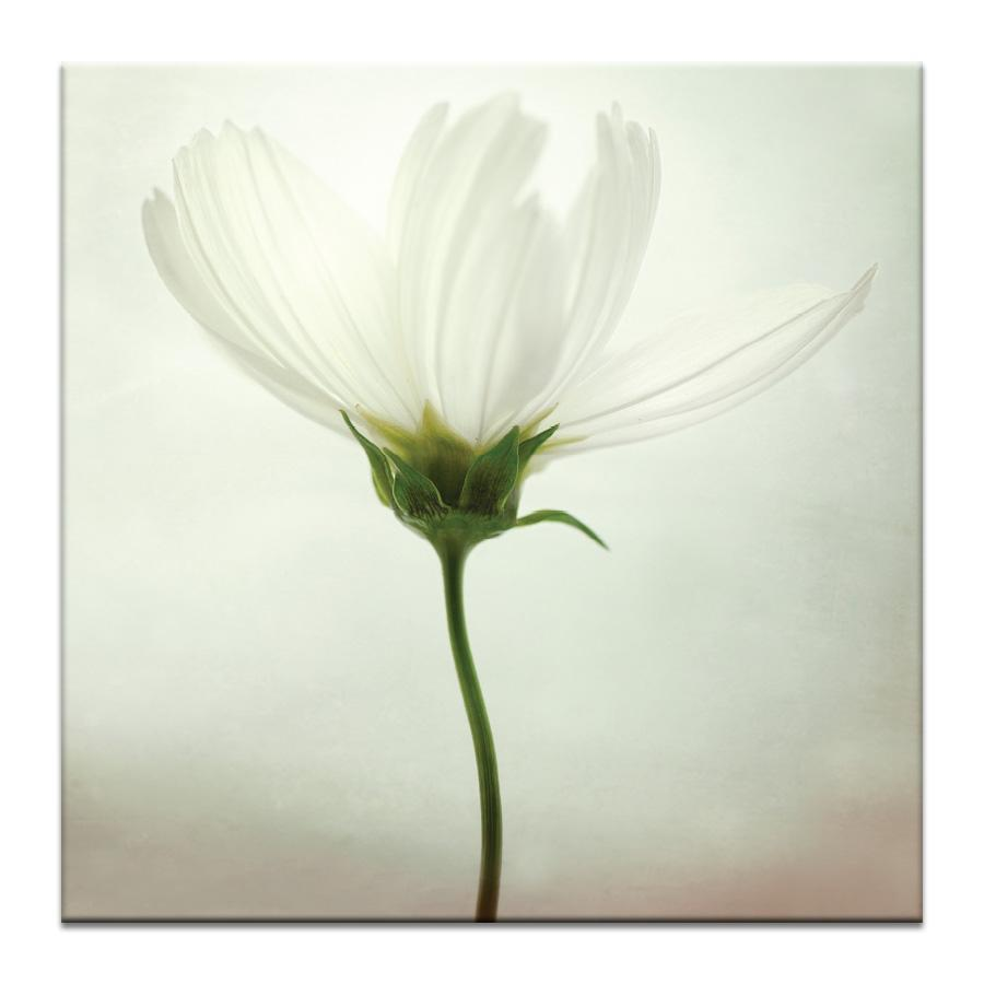 White cosmos Photograph Artwork Home Decor Wall Art at Lifeix Design