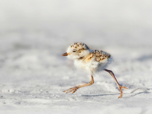 Protect the Shorebirds - NEW