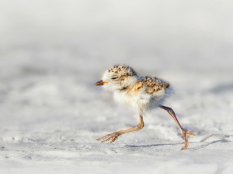 Make Way for Shorebirds