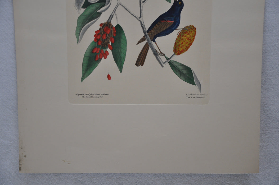 "Mark Catesby ""The blew Grobeak"" Williamsburg Lithograph Art Print 18 x 24   - TvMovieCards.com"